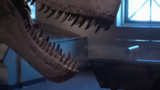 Close up of Dinosaur teeth at exhibit in museum 4k