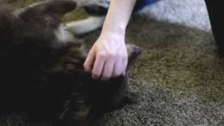 Close up of dog being pet on carpet