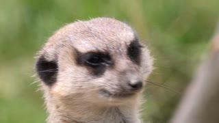 Close up of Meerkat face 4k