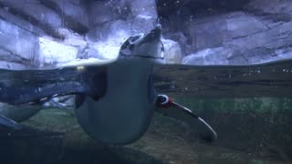 Close up of Penguin Floating in Water