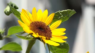 Close up of sunflower in sunshine 4k