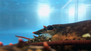 Close up on Lobster eye in aquarium for sale 4k