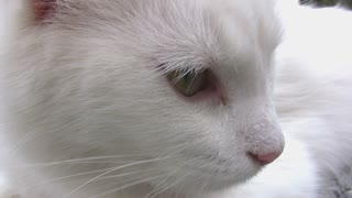 Closeup of White Cats Face