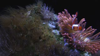Clown fish swimming in Sea Anemone