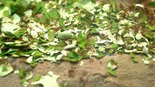 Colony of leaf cutter ants collecting and gathering food 4k