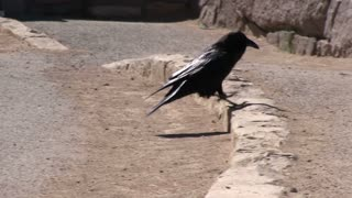 Common Raven looking for food tracking shot