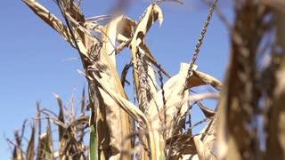 Corn growing in warm summer sun