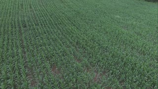 Corn stalks growing in field aerial view establishing shot