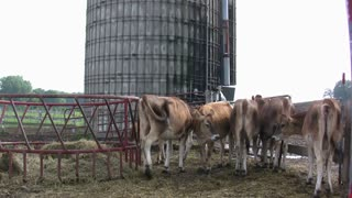 Cows with Silo in Background