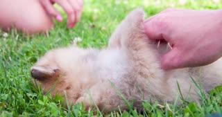 Cute little chow chow puppy being pet in grass 4k