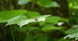 Daddy long leg sitting on leaf in nature 4k