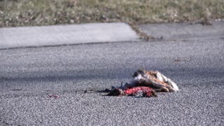 Dead rabbit hit by car on street 4k
