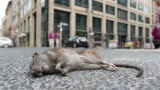 Dead rat laying on city street