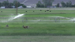 Deer eating in farmers grass with sprinklers.