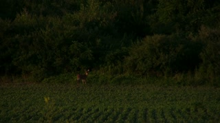 Deer in Field looking for Food