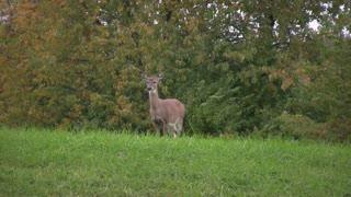 Deer Standing in Grass Eating