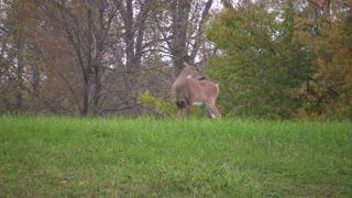Deer Standing in Grass looking around