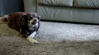 Dog chewing bone on carpet