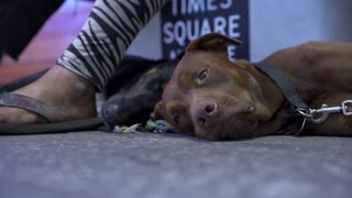 Dog laying on sidewalk in busy city with flashing lights 4k