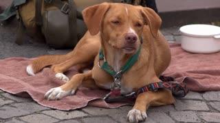 Dog of homeless wanderer sitting outside on towel 4k