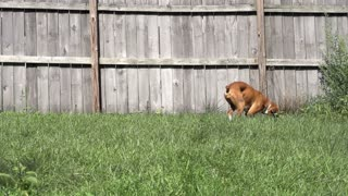 Dog returns ball in backyard