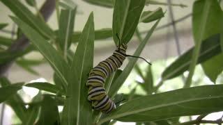 Eastern black swallowtail climbing leaf.mov