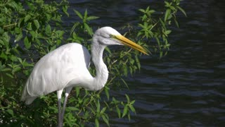 Egret by water looking into distance