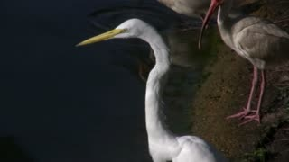 Egret standing next to water.