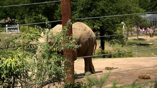 Elephant at zoo standing by fence 4k