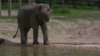 Elephant by Water Wagging Tail