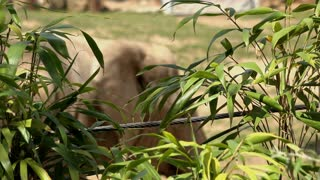 Elephant walking by in background of fence 4k