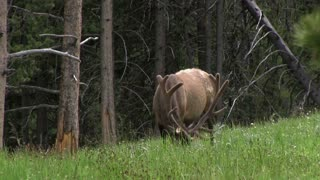 Elk looking for food in grass of forest