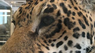 Face of Leopard in museum close up