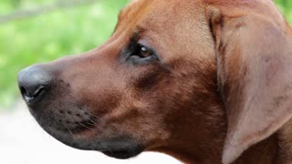 Face of Rhodesian Ridgeback dog
