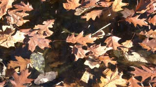 Fall Leaves floating in Water