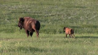 Family of Buffalo in field tracking shot