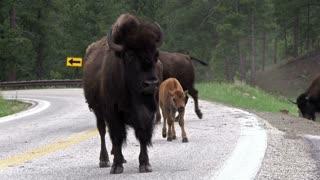 Family of Buffalo walking on street in mountain