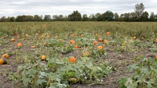 Field of Pumpkins Growing