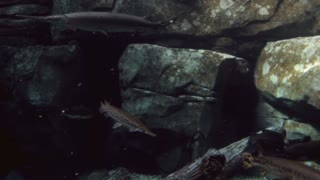 Fish underwater with rock background
