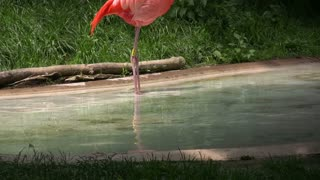 Flamingo Scratching and Splashing Water