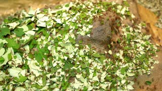 Forest floor covered with leaf cutter ants collecting pieces of food 4k
