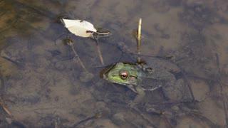 Frog hiding in water runs away 4k