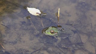 Frog sitting in murky pond water 4k