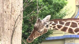 Giraffe chewing on bare limbs