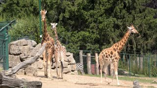 Giraffe family at zoo 4k