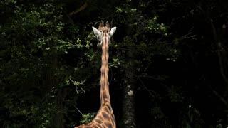 Giraffe standing near forest trees 4k