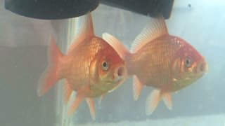 Goldfish in Tank of Water