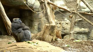 Gorilla sitting in cage scratching head a little confused 4k