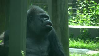 Gorilla sitting with his mouth hanging open