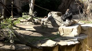 gorilla with arms folded together thinking
